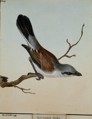 Red-backed Shrike, No.31