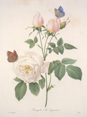 Bengale Thé hyménée, from Choix Des Plus Belle Fleurs et des Plus Beaux Fruits