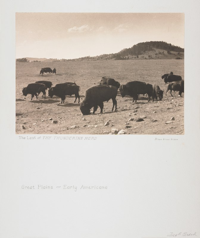 small herd of grazing bison; hills in the distance