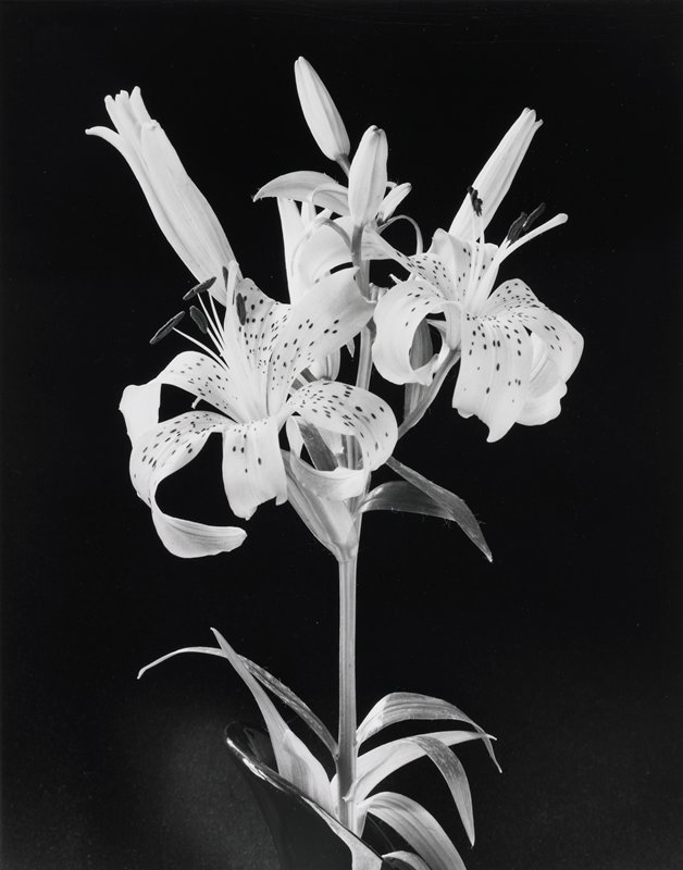 single tiger lily stalk with two open flowers and five buds in a partially visible black vase