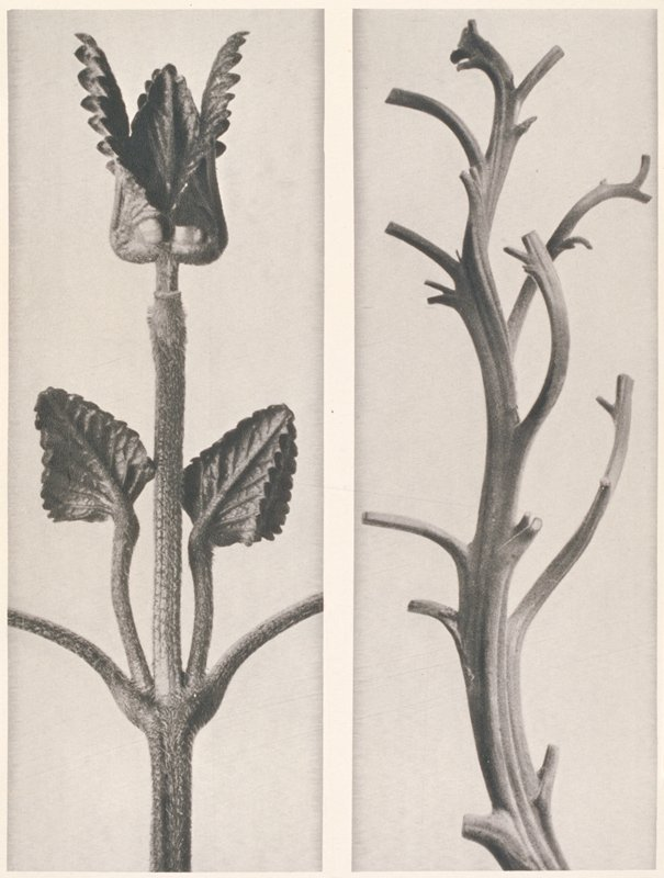 two separate images of plant stems a furry stem with four opening leaves at top and two pairs of leaves at center; b curving stem with leaves cut off