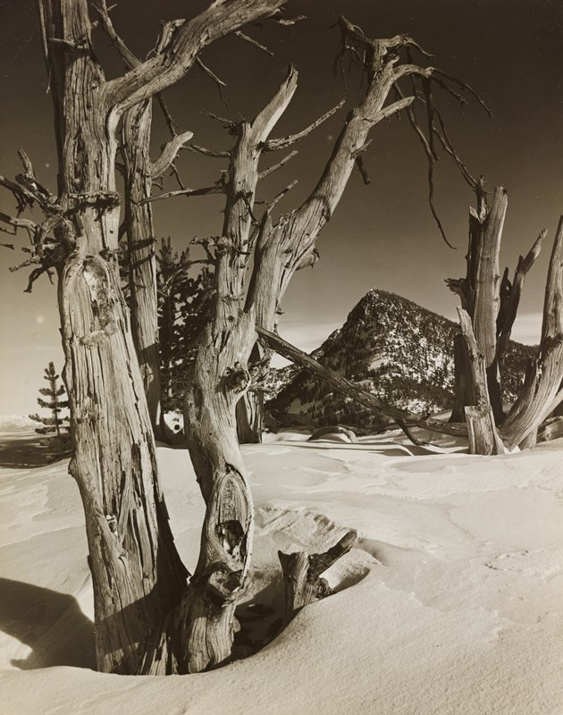 gnarled, dead trees in snow; evergreen covered mountain in background