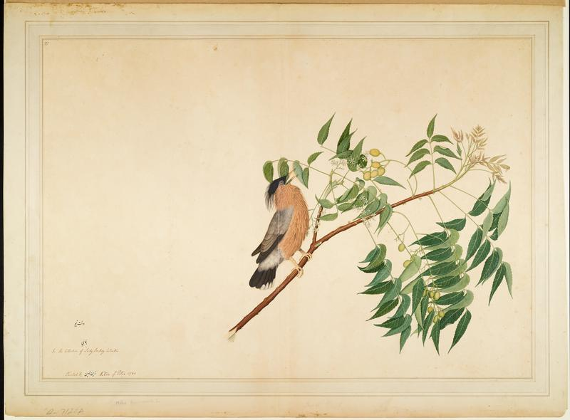 image of a tan, black and grey bird with beak open and feathers ruffled, perched on a branch; wood frame with a gold face