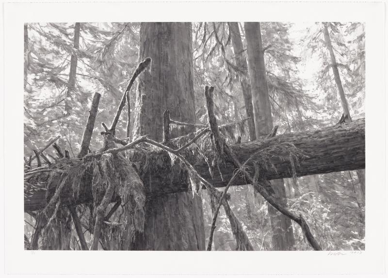 black and white image of a forested area; horizontal fallen tree with thick dark trunk and branches layered over the top of the log in center; thin, layered gradated leaves throughout