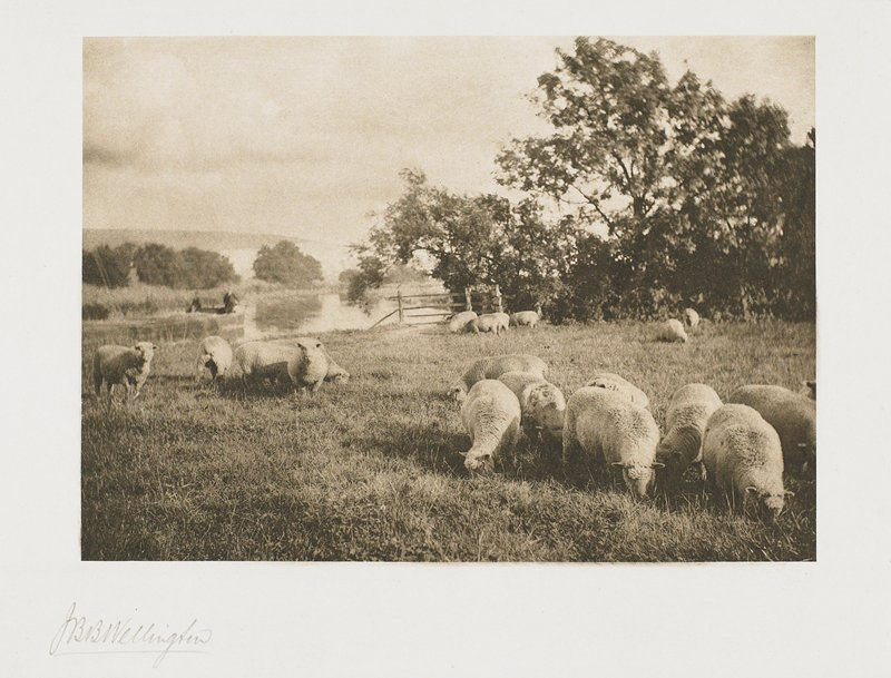 small flock of sheep with river behind; 2 figures in a boat on river at L background; from a portfolio with essay on the photographer