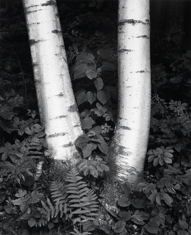 two birch tree trunks, with ferns and foliage around them; dark ground