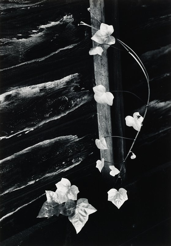 ivy branch and leaves against weathered wood