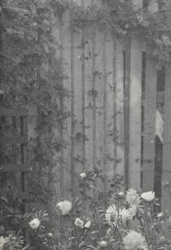 fence in background with foliage; aster blooms in foreground at bottom
