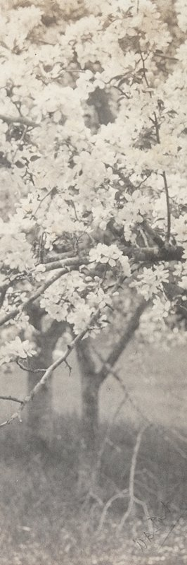 apple tree in bloom with other tree trunks visible at bottom
