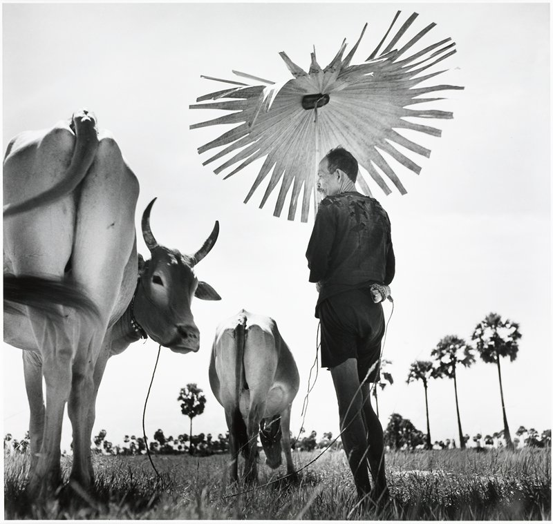 man holding an umbrella shaped like a large flower and leading 2 cows