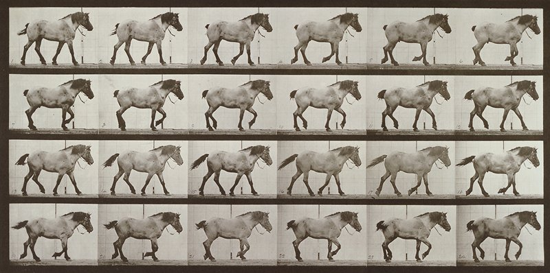 Walking, free, dark gray Belgian horse. From a portfolio of 83 collotypes, 1887, by Edweard Muybridge; part of 781 plates published under the auspices of the University of Pennsylvania