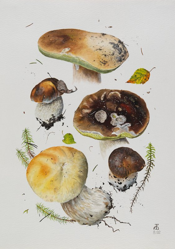 watercolor of 5 specimens of mushroom; top and bottom specimens have golden-brown caps, 3 others have brown caps; leaf and foliage specimens between and around mushrooms