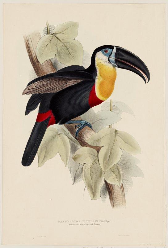 Plate 9 (toucan), Vol. I