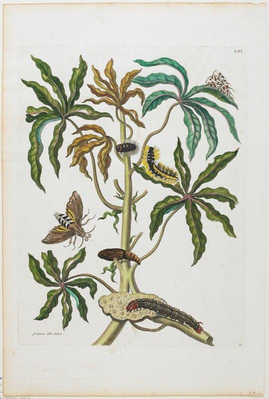 Plate 61. LXI. Guajava alba dulcis.