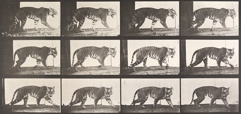 Tigress, walking. From a portfolio of 83 collotypes, 1887, by Edweard Muybridge; part of 781 plates published under the auspices of the University of Pennsylvania