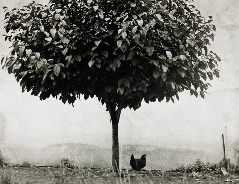 large tree in foreground with a chicken underneath